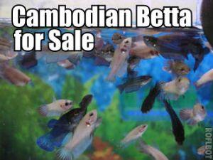 Cambodian Betta for Sale